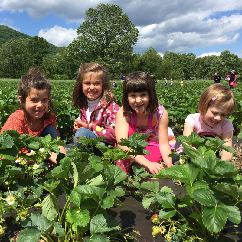 Kids in the strawberry field in Crozet
