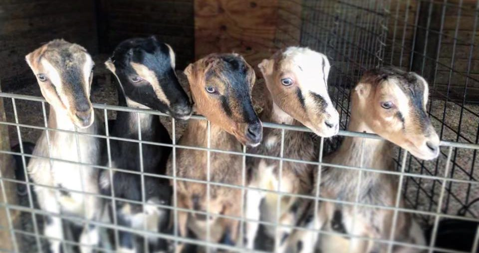 Baby goats from Clover Top Creamery