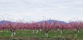 Peach trees in blossom in Crozet, Virginia