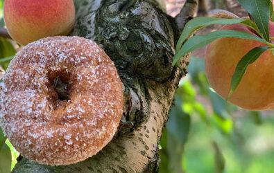 Cider donut on a peach tree
