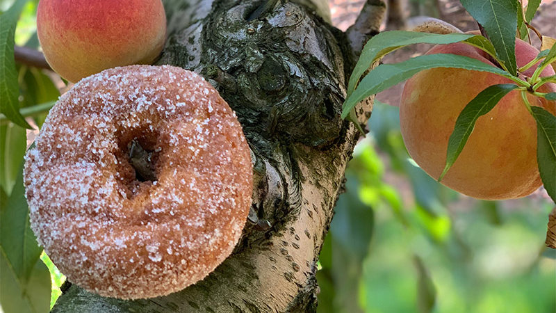 Cider donut on a peach tree