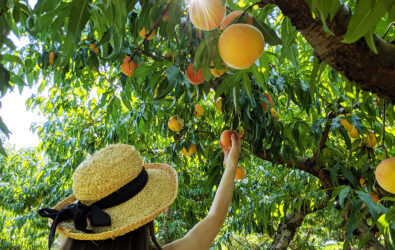 Pick your own peaches