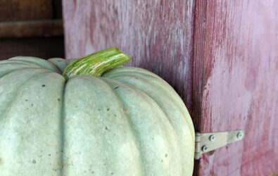 Sage green pumpkin at Chiles Peach Orchard