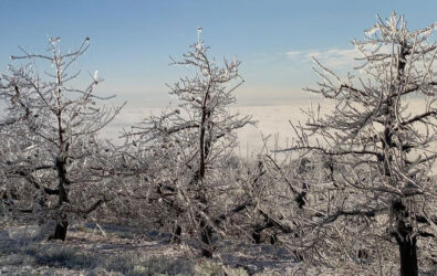 Frozen trees at Carter Mountain Orchard during winter