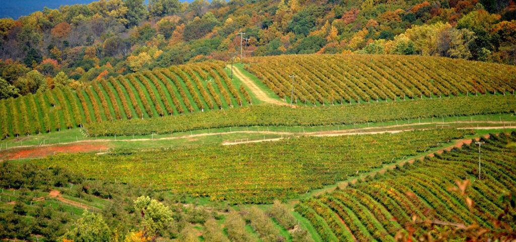 Vineyard at Carter Mountain Orchard