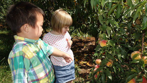 Toddlers pointing at ripe peaches on a tree