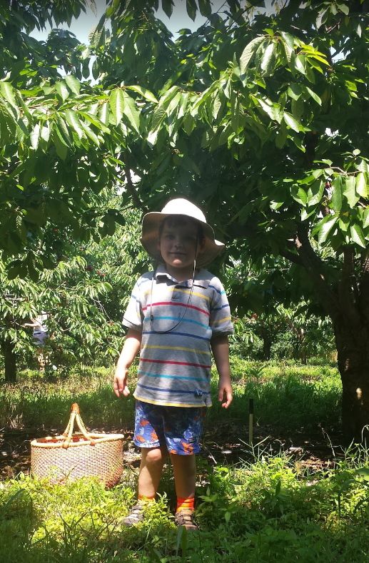 Little boy with basket of cherries at Spring Valley Orchard