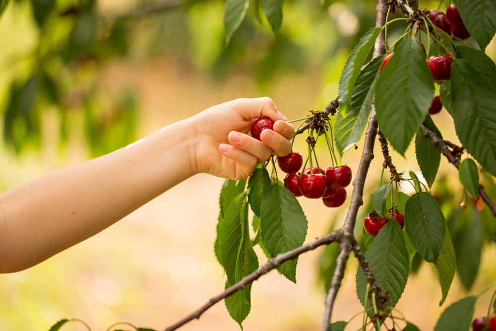 Cherry picking at Spring Valley Orchard