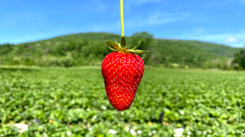 Strawberry and stem in front of mountains at Chiles Peach Orchard