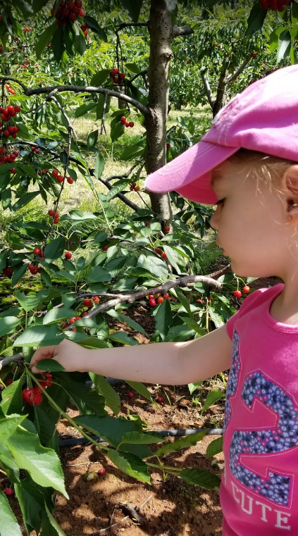Little girl picking cherries at Spring Valley Orchard