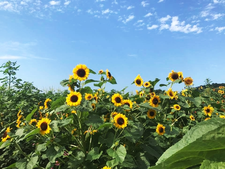 Sunflowers in the field at Chiles Peach Orchard