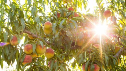 peach tree and sunshine