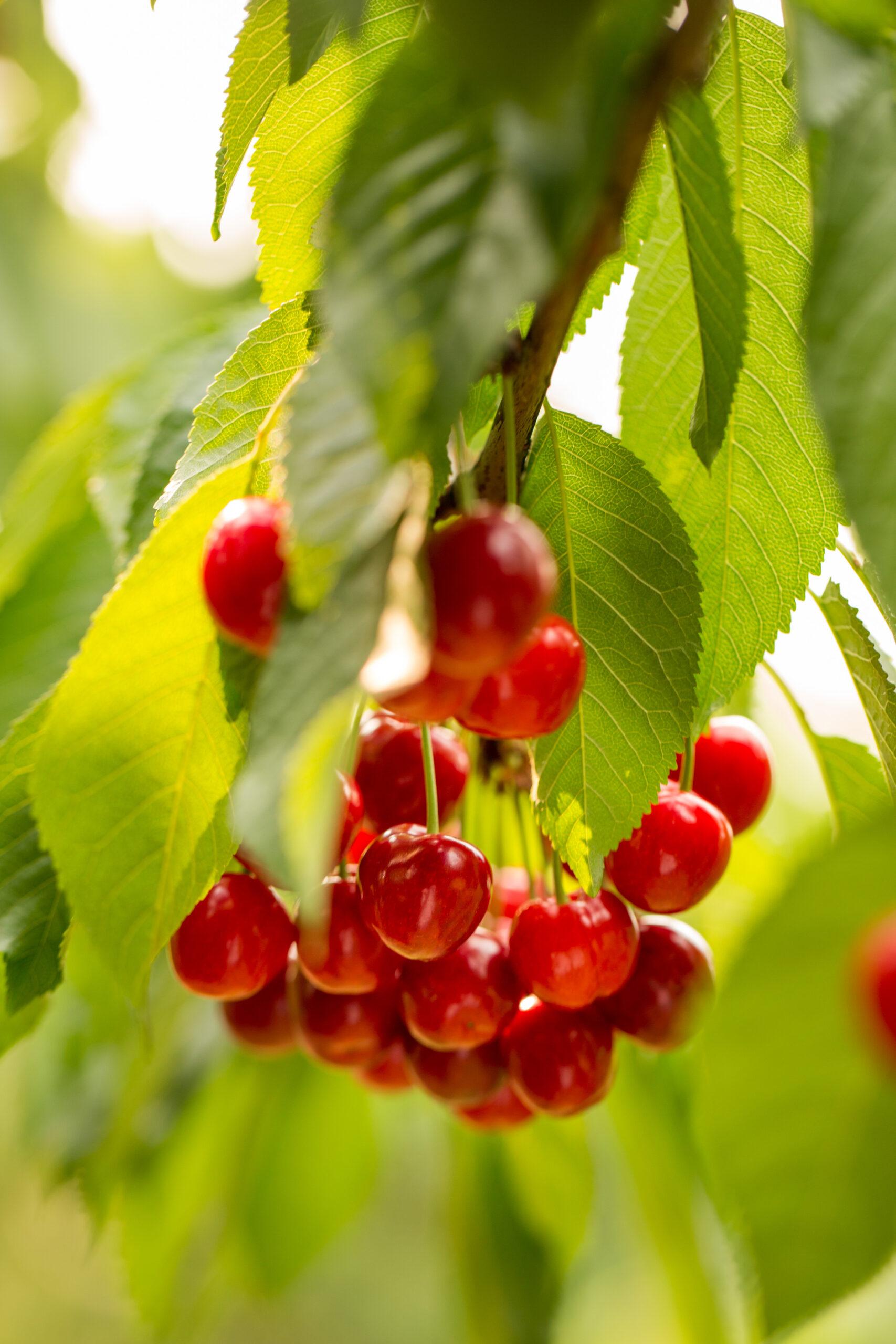 cherries on a tree