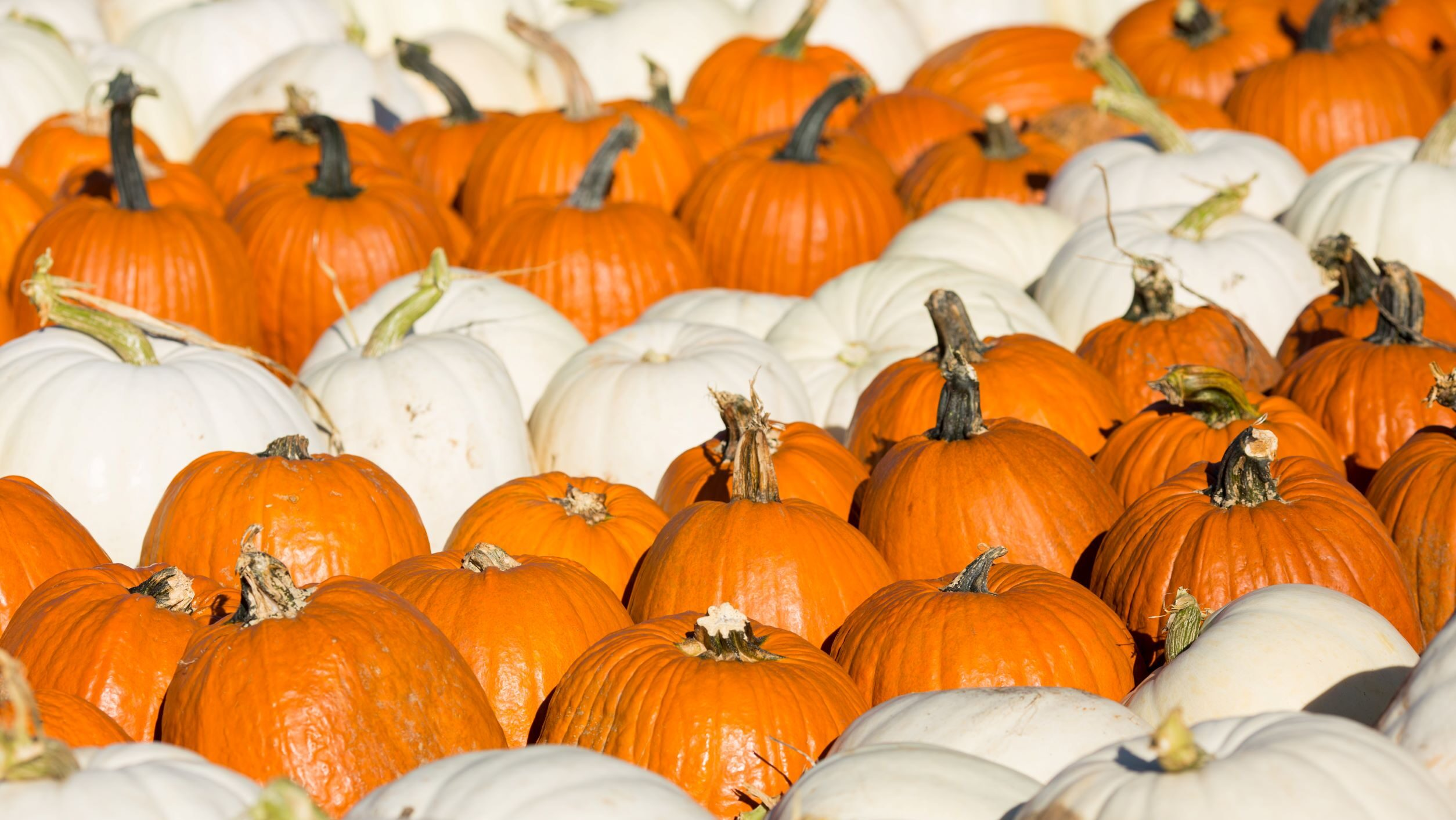Pumpkin patch with orange and white pumpkins